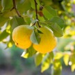 Pears on a tree — Stock Photo