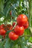 Growing red tomatoes — Stock Photo