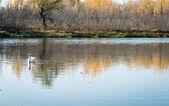 White swans floating — Stock Photo
