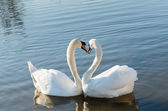 Couple of swans — Stock Photo
