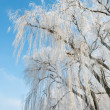 Willow in winter — Stock Photo