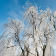 Stock Photo: Willow in winter