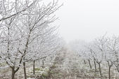 Orchard in winter — Stock Photo