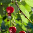 Sour cherries — Stock Photo #20121755