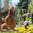 Laying hens — Foto Stock #20138275