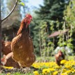 Laying hens — Stock Photo #20138275