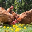 Egg-laying hens — Stock Photo #20138313