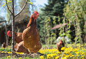 Laying hens — Stock Photo