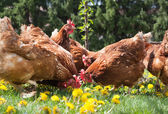 Egg-laying hens — Stock Photo