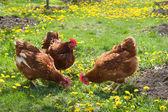 蛋鸡 — 图库照片