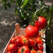 Ripe tomatoes — Stock Photo #20463199