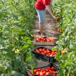 Royalty-Free Stock Photo: Woman picking fresh tomatoes