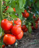 Growth ripe tomato — Stock Photo