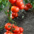 Growth red tomato — Stock Photo