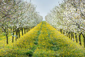 Blossoming orchard — Stock Photo