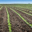 SoybeField Rows — Stock Photo #25507041