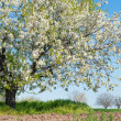 Tree in spring — Stock Photo