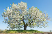 Tree in spring — Stock Photo