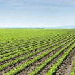 SoybeField Rows — Stock Photo #26363627