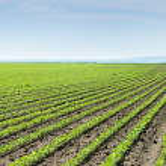 Soybean Field Rows — Stock Photo #26363627