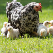 Hen with chicks - Stock Photo