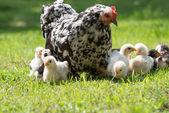 Hen with chicks — Stock Photo