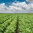 SoybeField Rows — Stock Photo #27480479
