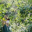 Stock Photo: Spraying pesticide on fruit trees
