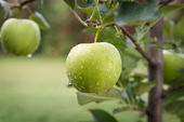 Green apples on a branch in an orchard — Stock Photo