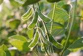 Close up of the soy bean — Stock Photo