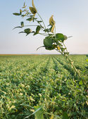 Growth soybean — Stock Photo