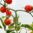 Growth cherry tomatoes — Stock Photo #30106531