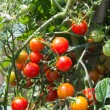 Growth cherry tomatoes — Stock Photo #30106639