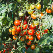 Growth cherry tomatoes — Stok fotoğraf
