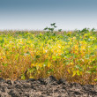 Field of Soybeans — Stock Photo #30345165