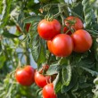 RIpe tomatoes — Stock Photo #30350403