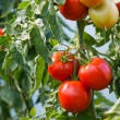 RIpe tomatoes — Stock Photo #30350415