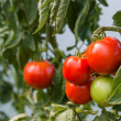 Stock Photo: RIpe tomatoes