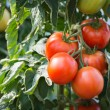Growth tomatoes — Stock Photo #30602027