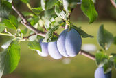 Plum on a branch in an orchard — Stock Photo
