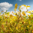 Field of Soybeans — Stock Photo