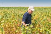 Campo fertile di soia — Foto Stock