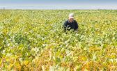 Fertile soybean field — Stock Photo