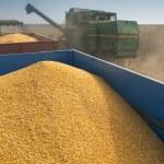 Corn harvest — Stock Photo #33143461