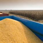 Corn harvest — Stock Photo #33994279