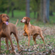 Two hound dog — Stockfoto