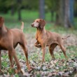 Two hound dog — Stock fotografie