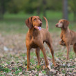 Stock Photo: Two hounds