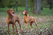 Two hound dog — Stock Photo
