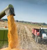 トウモロコシの収穫 — ストック写真